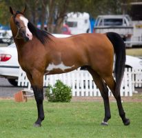 STOCK - TotR Arabians 2013-165 by fillyrox