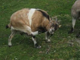 Brown/White/Black Goat STOCK by cutedeviantfangirl