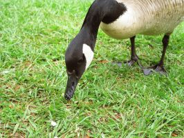 Goose by looking-for-hope