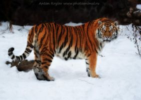 Big kitty by Jagu77