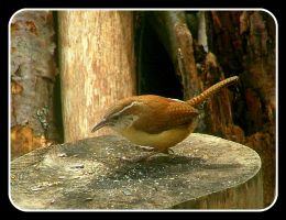 Carolina Wren by SlateGray