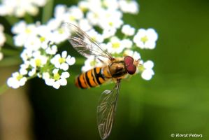 Hoverfly by bluesgrass