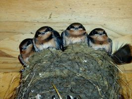 swallows-stock by bleed-persephone