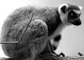The Lemur by irishcompass