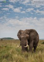 Just an Elephant by MorkelErasmus