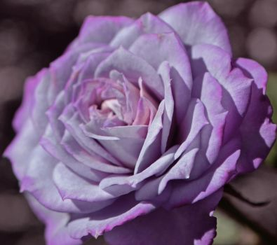 Lavender Rose2 by tanzenderengel