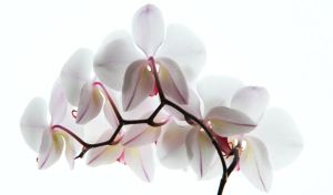 bashful orchids by right-angle