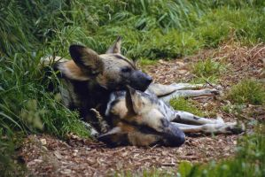 African Wild Dogs by robbobert