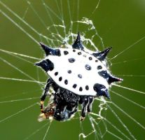 Spinybacked orbweaver by duggiehoo