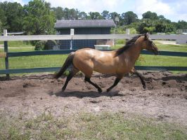 Can gaited horses loose their gait? by ShapeShifter314
