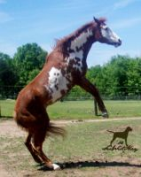 Rearing Bella - SPECIAL STOCK by SarWestMayStock