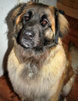My Leonberger puppy by CrayolaScribbles