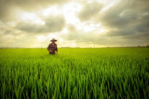 Another rice field by garki