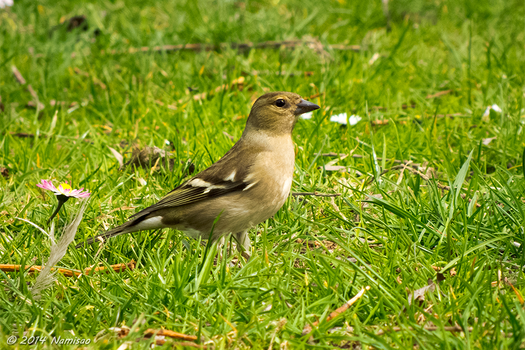 Female Common Chaffinch by Namisao