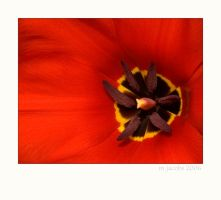 Red Tulip by myrnajacobs