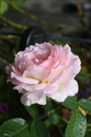 That which we call a Rose 2 by GreenEyezz-stock