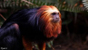 golden-headed lion tamarin by Yair-Leibovich