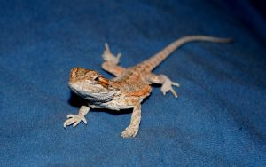 Puff Jr baby Bearded Dragon 7 by FairieGoodMother