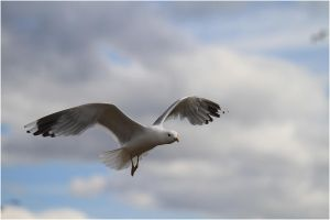 Gull by aussiedoggie