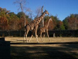 Two Giraffes too by amolina45