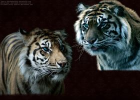 Tigers by Ariel-Bubbles