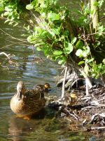 Ducklings 3 by caribbeanpirate