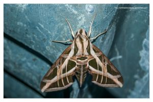 moth by Jimmasterpieces