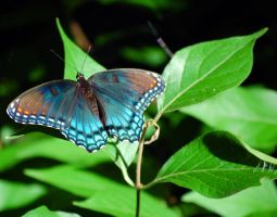 Red-Spotted Purple by heavenly-flower12
