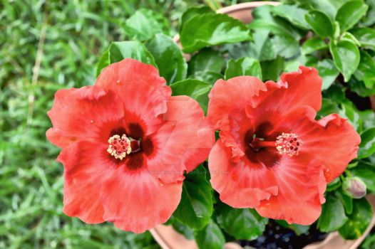 Red Hibiscus by Sherrys-Camera