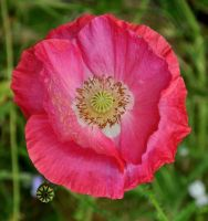 Pinky Red Poppy by Forestina-Fotos