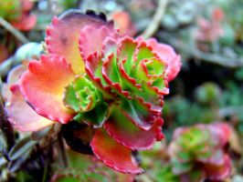stonecrop by bambi1964