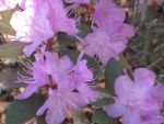 Rhododendrons in March? by BillMeahan