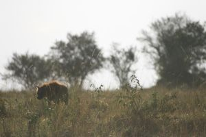 Hyena in the grass by myp55