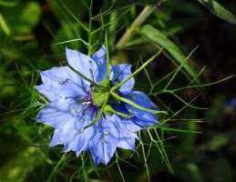 Blue Beauty by Forestina-Fotos