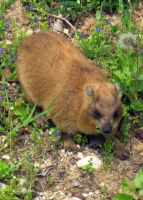 hyrax by battie