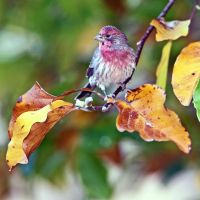 house finch in tulip tree by clippercarrillo