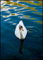 Swan 1 by beckic