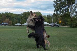 Titan and black dog playing by elvaniel