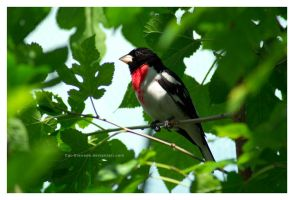 Rose-breasted Grosbeak by Cat-Grenade