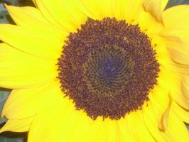 sunflower macro by ingeline-art