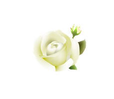 white rose PNG by Melissa-tm