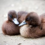 Duckies by WouterPera