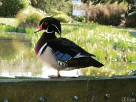 Carolina Wood Duck 3 by kiwipics