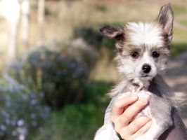 Chinese Crested Dog 3 by AndreyCherkasov