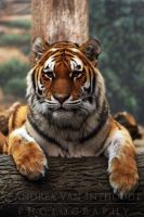 .:Tiger Tula:. by AVI-Photography