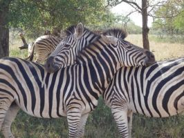 Zebras 4 by raindroppe