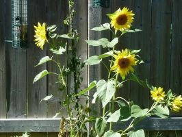 This is sunflower gang turf by Vitacus