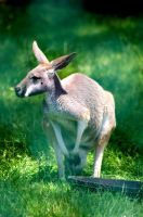 The Roo by Hertz18360