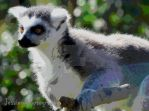 Poster / Cartoon effect on lemur by jessieo-photography