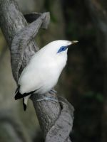 Bali Starling 02 by Ghost-Stock